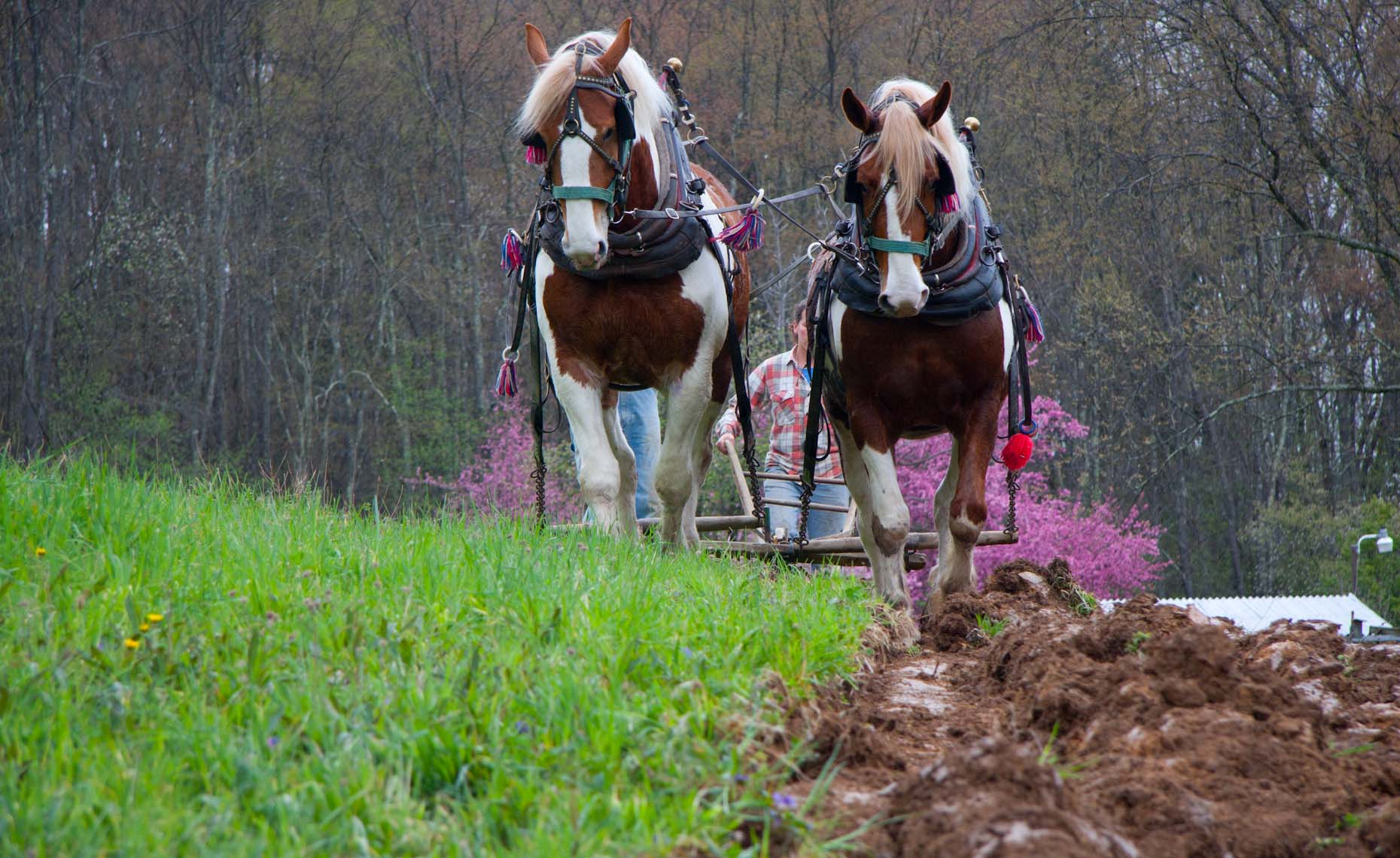 Horse plowing